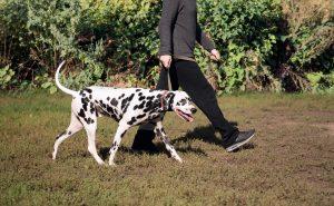 Man and Dalmatian